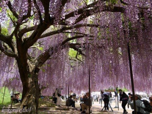 白毫寺の藤の花、関西の藤の名所