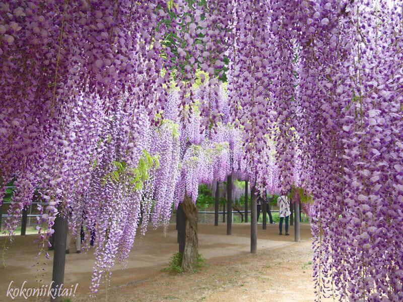 白井大町藤公園の藤の花、藤の花名所、関西の藤の花