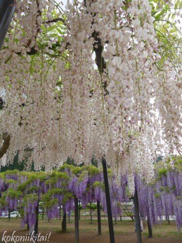 白井大町藤公園の白い藤の花、藤の花名所、関西の藤の花、白い藤の花「口紅藤」