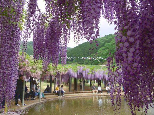 白井大町藤公園のピンクの藤の花、藤の花名所、関西の藤の花