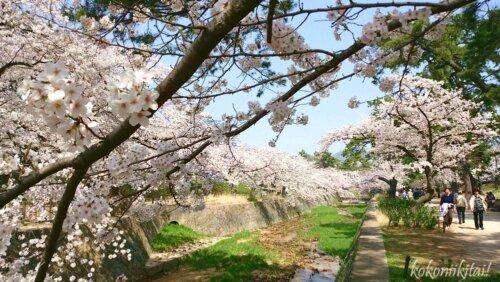 夙川の桜お花見