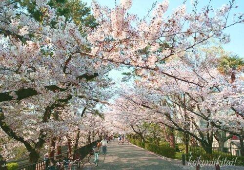 夙川の桜花見