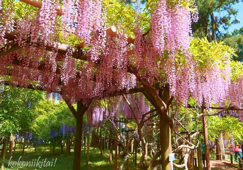 奈良の萬葉植物園の藤の花