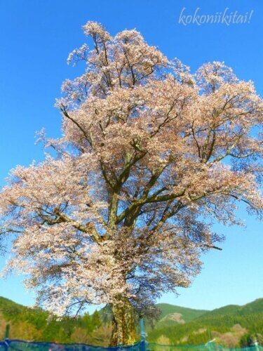 東城三大桜広島県庄原市の千鳥別尺のヤマザクラ