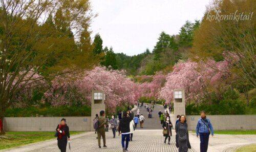 ミホミュージアムの枝垂れ桜満開の時
