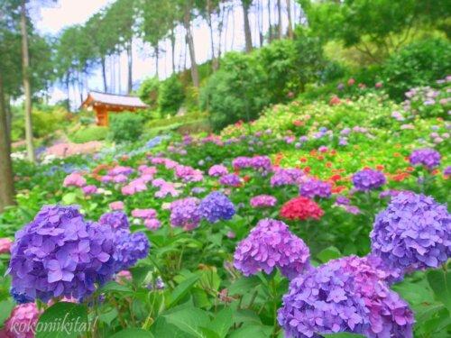 京都宇治の三室戸寺アジサイ園