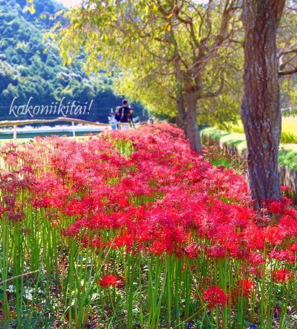 兵庫県多賀町間子の曼珠沙華の里彼岸花